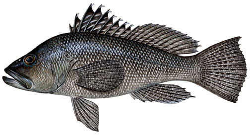ASMFC Draft Addendum Open for Public Comment on 2012 Black Sea Bass Recreational Measures